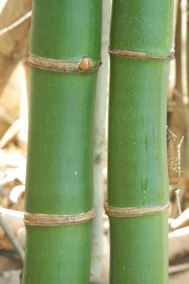 Sustainability And Bamboo Stems Woodguide Org